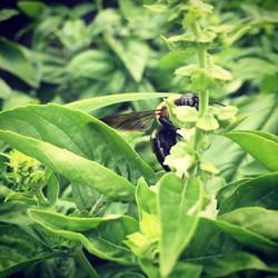 bumblebee basil