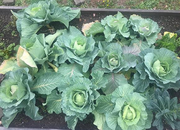 Mini Greenhouse Grow Kits: Brassica Mix