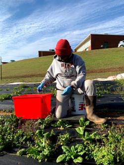 farm volunteers harvesting spinach