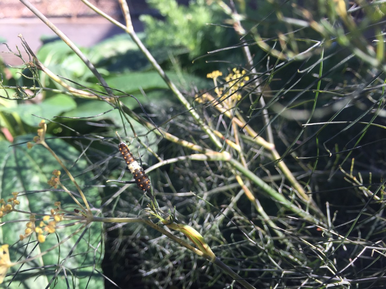 larvae on fennel