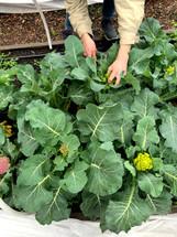 teaching garden romanesco harvest