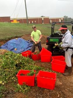 farm harvest compost with volunteers