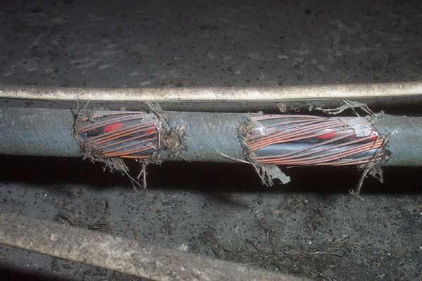 topo morde fili cavo