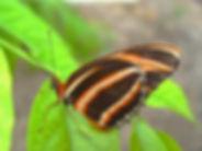Dryadula phaetusa,Banded Orange