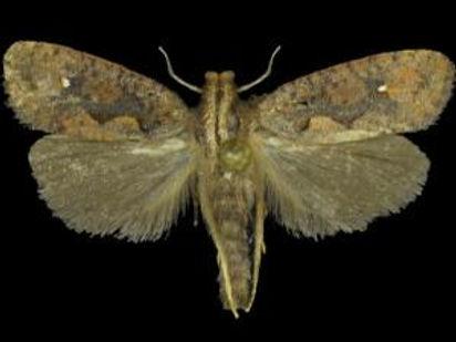 Acrolophus plumifrontella, Eastern Grass Tubeworm Moth