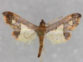 Gonocausta sabinalis