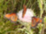 Danaus gilippus, Queen