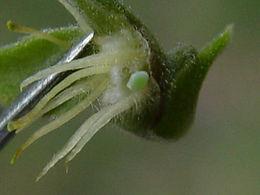 Strymon martialis, Martial Scrub-Hairstreak egg