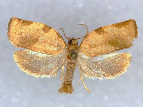 Choristoneura fractivittana, Broken Banded Leafroller Moth