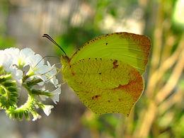 Eurema boisduvaliana, Boisduval's Sulphur