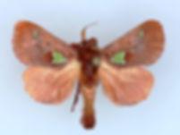 Euclea delphinii, Spiny Oak-Slug Moth