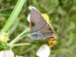 Strymon istapa, Mallow Scrub-Hairstreak