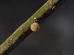 Oligoria maculata, Twin-spot Skipper egg