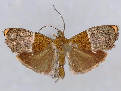 Hemerophila dyari
