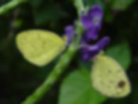 Eurema nise, Jamaican Sulphur