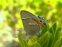 Strymon martialis, Martial Scrub-Hairstreak