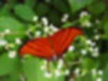 Marpesia petreus, Ruddy Daggerwing
