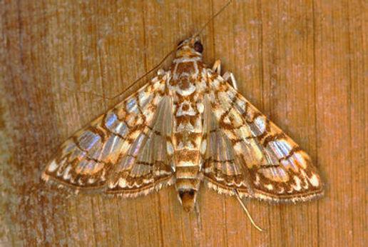Synclera jarbusalis