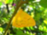 Phoebis philea, Orange-barred Sulphur