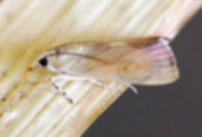 Dichogama redtenbacheri, Caperleaf Webworm Moth