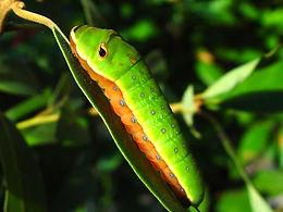 Papilio palamedes, Palamedes Swallowtail larva