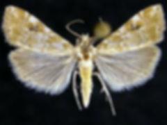 Hellula phidilealis, Cabbage Budworm Moth