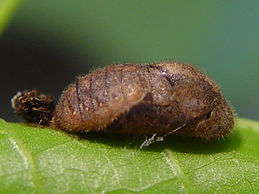 Electrostrymon angelia, Fulvous Hairstreak pupa