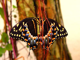 Papilio palamedes, Palamedes Swallowtail