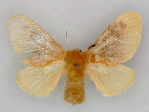 Megalopyge opercularis,  Southern Flannel Moth