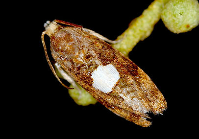 Cydia palmetum