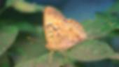 Asterocampaclayton flora, the Tawny Emperor