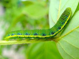 Phoebis sennae, Cloudless Sulphur larva