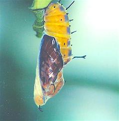 Marpesia petreus, Ruddy Daggerwing pupa