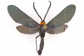 Harrisina americana, Grape-leaf Skelletonizer Moth
