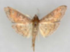 Diacme phyllisalis