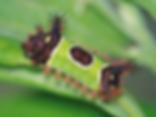 Achariastimulea, Saddleback Caterpillar Moth larva