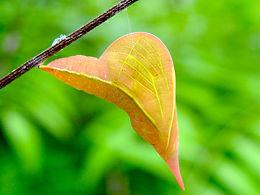 Phoebis sennae, Cloudless Sulphur pupa