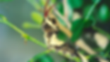 Papilio cresphontes, Giant Swallowtail larva