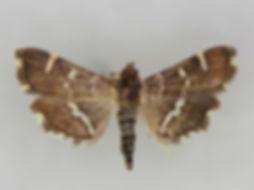 Hymenia perspectalis, Spotted Beet Webworm Moth