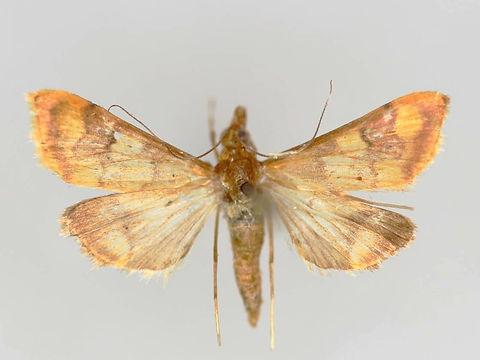 Pyrausta phoenicealis, Phoenicean Pyrausta Moth