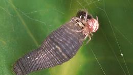 Eurytides marcellus, Zebra Swallowtail larva eaten by spider