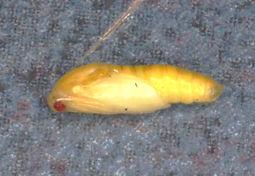 Hemerophila diva, Diva Hemerophila Moth pupa