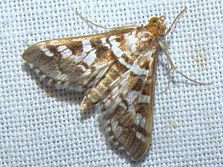 Epipagis forsythae, Forsyth's Epipagis Moth