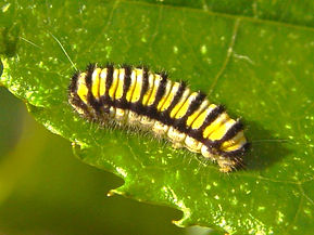 Harrisina americana, Grape-leaf Skelletonizer Moth larva