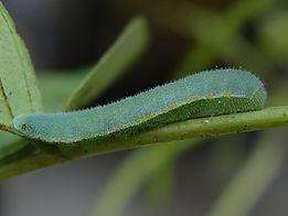 Abaeis nicippe, Sleepy Orange larva