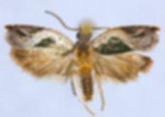 Ancylis virididorsana