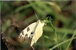 Pontia protodice, Checkered White