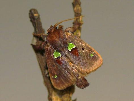 Euclea nanina, Nanina Oak-Slug Moth