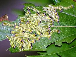 Asterocampaclayton flora, the Tawny Emperor larva