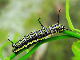 Danaus eresimus, Soldier larva